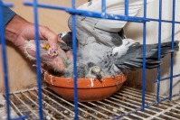 2019/03/19 knesselare belgium : duivenveilinghuis pipa (pigeon paradise) dat prijsduif armando verkocht foto ivan put
