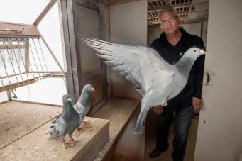 2019/03/19 knesselare belgium : duivenmelker joel verschoot verkocht via duivenveilinghuis pipa (pigeon paradise) prijsduif armando foto ivan put